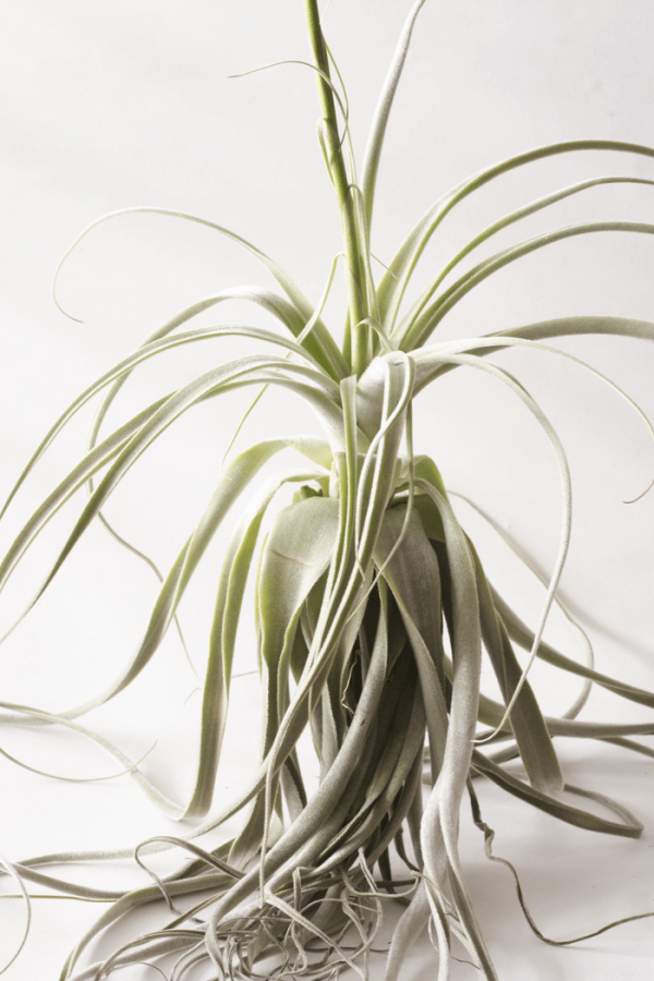 Tillandsia Air Plant Straminea Thick Leaf