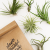 Tillandsia Value 5 pack