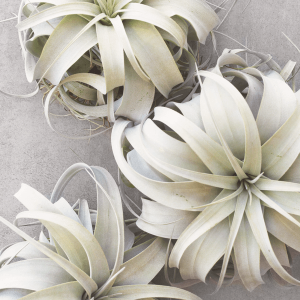 Air Plant Tillandsia Xerographica Wholesale