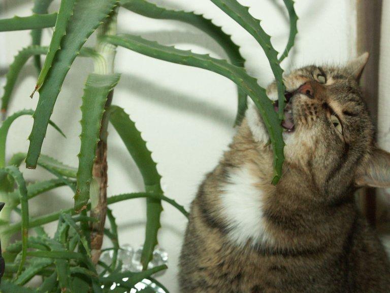 cat repellent plant picture