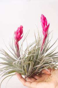 Do Air Plants Die after Flowering