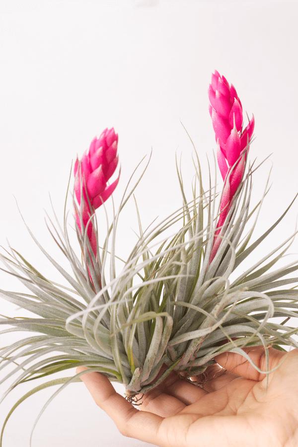 Flowering Air Plant Tillandsia Houston Dark Pink