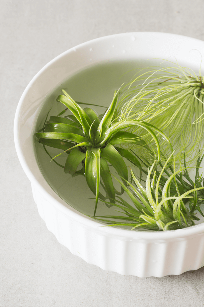 how to water air plants by soaking