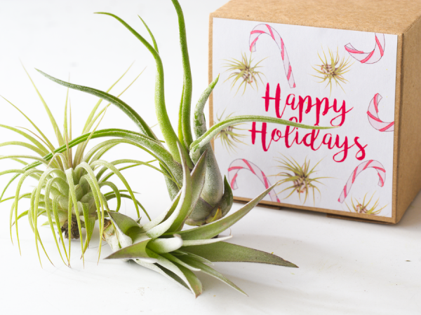 Say Happy Holidays with air Plants