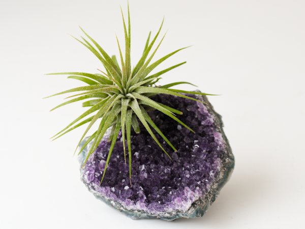 air friend large amethyst cluster druzy air plant garden gift